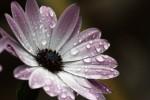 Flowerdrop