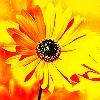 sunshine flower 001