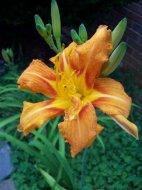 Tiger Lily.